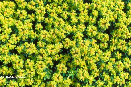 Maltese-spurge-blogg