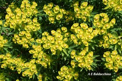 Tree-Spurge-blogg
